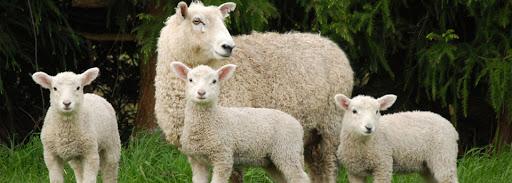 Одеяла из овечье шерсти